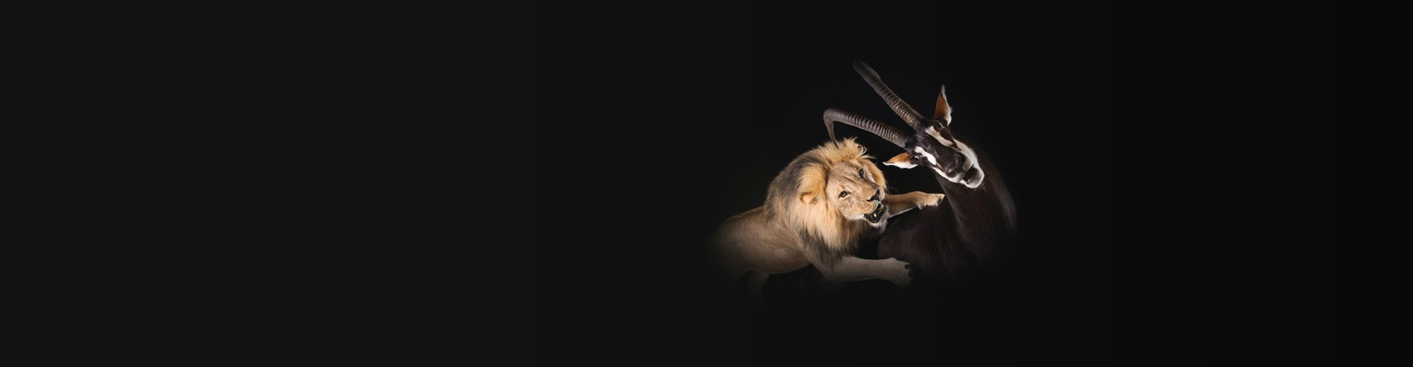 Lion attacking impala mount