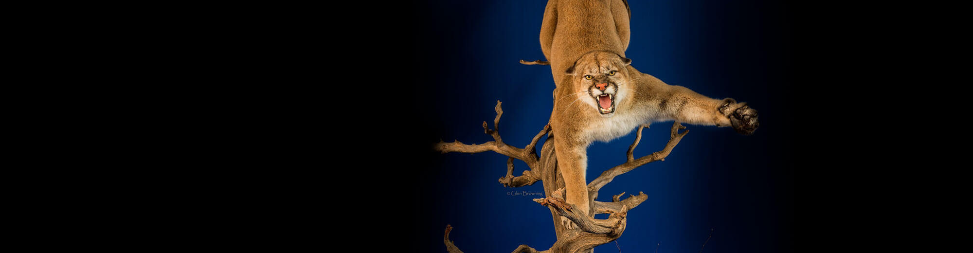 best in world large mammal - cougar mount by Ashley Barrett